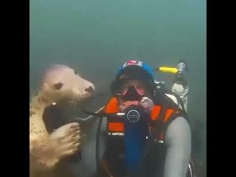 Fok balığı dalgıçla dostluk kuruyor