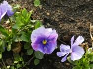 Le prime violette della stagione