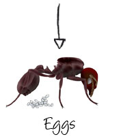 Queen Ants Lay Eggs And Reproduce Soldier Bring Slaves From Other Ant Hills