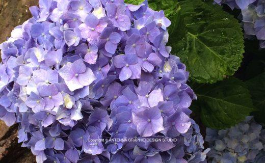近所の紫陽花の画像