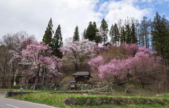 白馬村の徹然桜