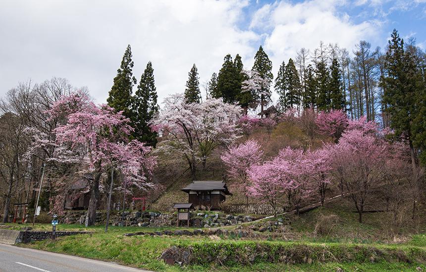 徹然桜(4月下旬ごろ)