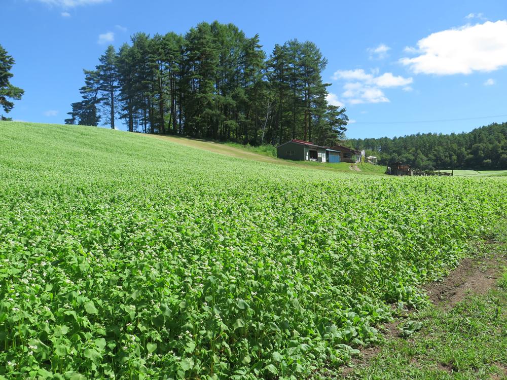 そば畑が見頃の中山高原