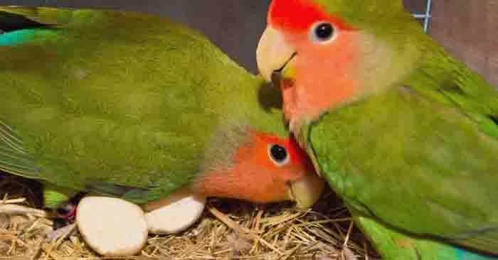 Cara Agar Lovebird Cepat Bertelur