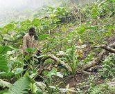 bakweri_cocoyam_farmer