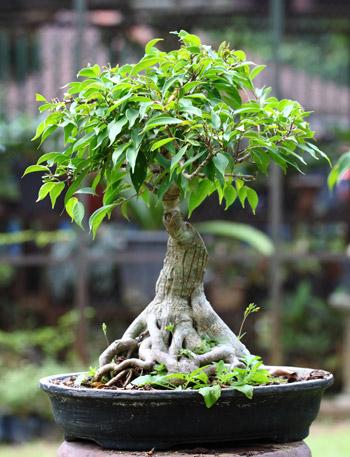 bonsai-ficus2