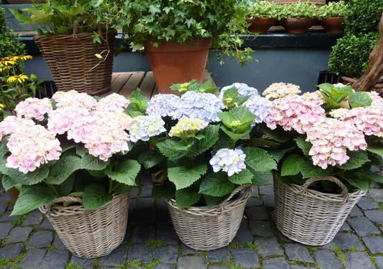 Ορτανσία στην ανθοδετική, τη γλάστρα και τον κήπο