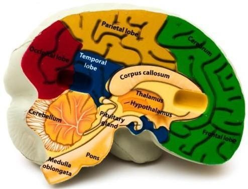brain_mechanisms