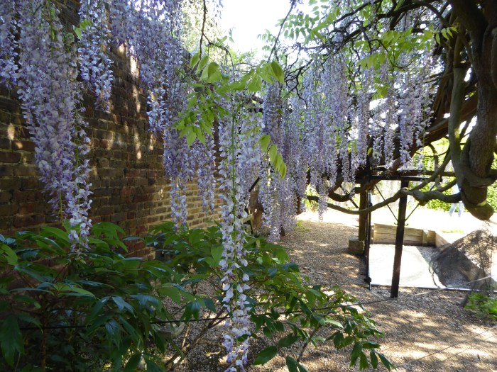 Wisteria planted in 1903