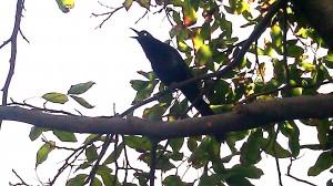 Way cool Blackbird