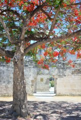 Fire Tree outside the old Cuartel.