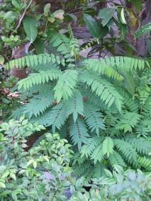 Oxalidaceae, Averrhoa bilimbi, young tree