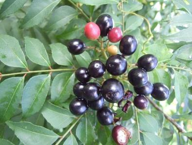 Rutaceae, Murraya koenigii, curry tree, leaves and fruit