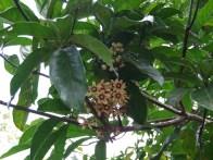 Sterculiaceae, Cola nitida flowers