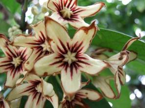 sterculiaceae, cola nut flower