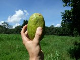 citrus-unknown-oval-fruit-maybe-medica
