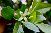 Oval citrus flower