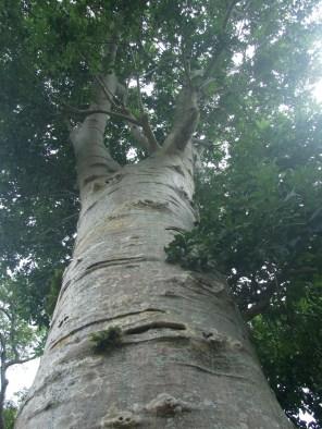 A. digitata tree