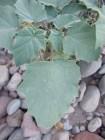 Baja datura leaf