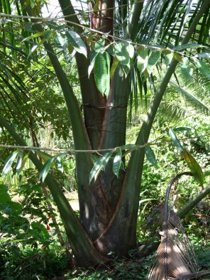 Mauritia flexosa