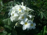 plumeria, panama species