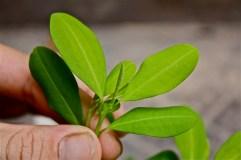 E. coca leaf close