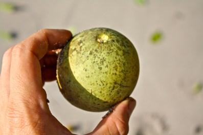 PG unidentified fruiting vine