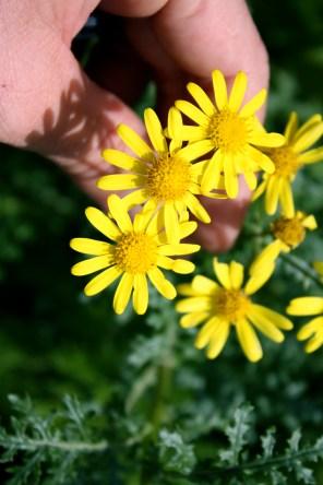 Wildflower no ID