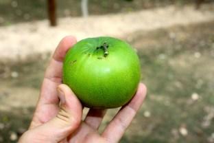 Z. mauritiana - Vietnam