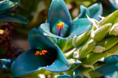 P. berteroniana, bloom
