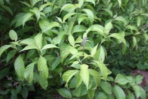 Psychotria, careyes, mexico