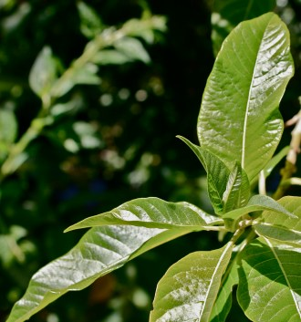 Iochroma umbellata, leaf