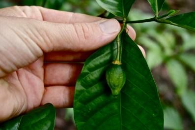 T. iboga, young fruit