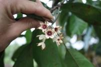Sterculiaceae, Cola acuminata, flower