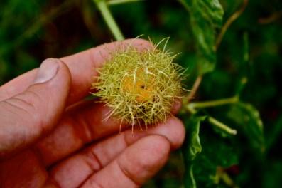 Passifloraceae, Passiflora foetida., Gabon