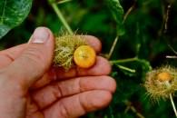 Passifloraceae, Passiflora foetida, fruit, Gabon