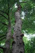 omphalocarpum procerum, trunk, tree