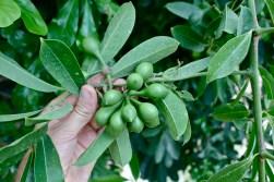 Anonaceae, Artabotrys hexapetalus, fruit