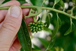 Anonaceae, Artabotrys hexapetalus, immature fruit