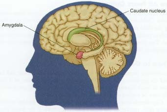 The location of the amygdala in the Human Brain