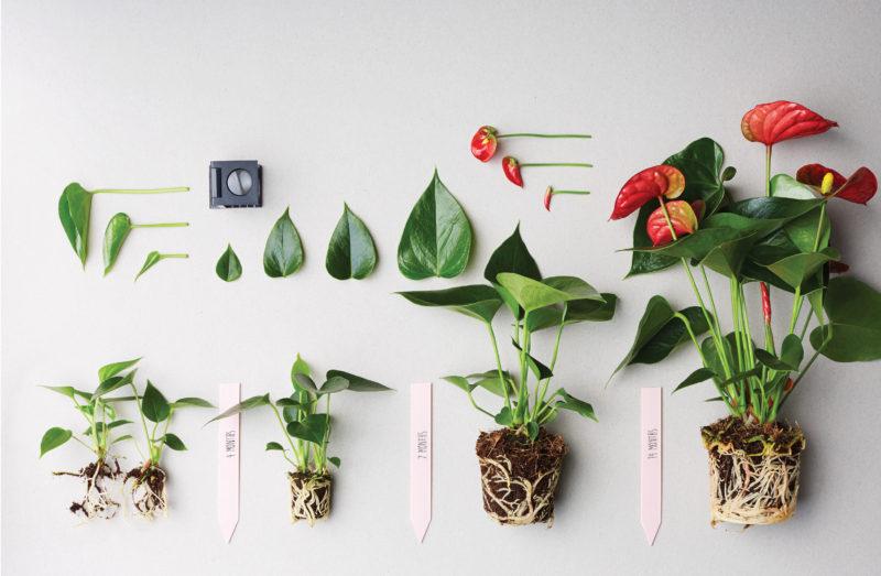 Anthurium Info  All about Anthurium cut flower and pot plant
