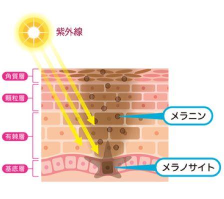メラニン、メラノサイトが出来る皮膚の断面図