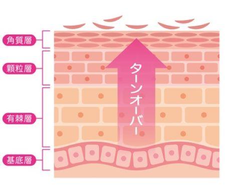 お肌のターンオーバーを示した皮膚の断面図