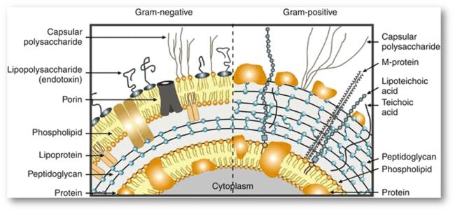 bacterias gram