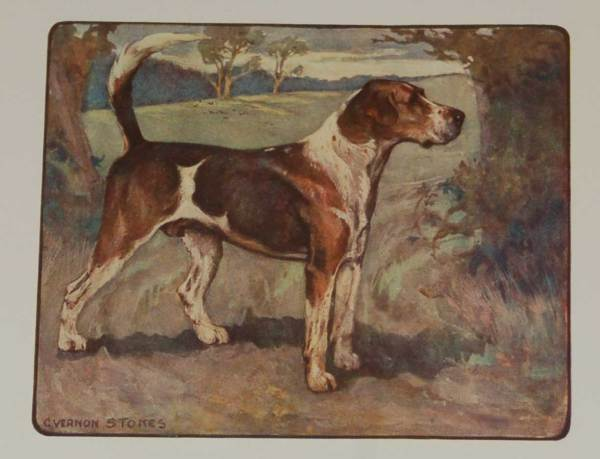 A 1909 Antique Print of a Foxhound, print is in excellent condition with no foxing, by George Vernon Stokes