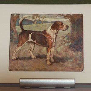 A 1909 Antique Print of a Foxhound, print is in excellent condition with no foxing, by George Vernon Stokes.