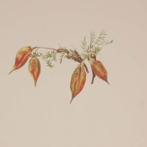 Vintage botanical print from 1925 by Mary Vaux Walcott titled Alpine Pointvetch, stamped with initials and dated bottom left.