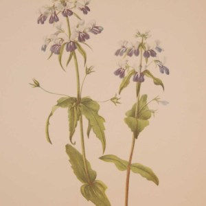 Vintage botanical print from 1925 by Mary Vaux Walcott titled Blue Eyed Mary , stamped with initials and dated bottom left