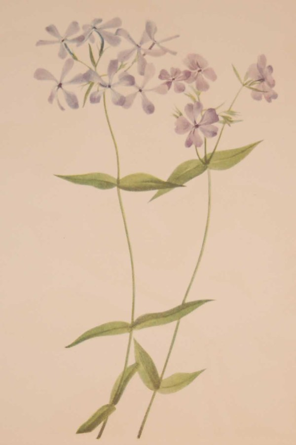 Vintage botanical print from 1925 by Mary Vaux Walcott titled Blue Phlox, stamped with initials and dated bottom left