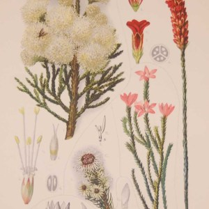 Original 1925 vintage botanical print titled Bruniaceae Plate 13 by Rudolph Marloth. The print was published as part of a set on the flora of South Africa.